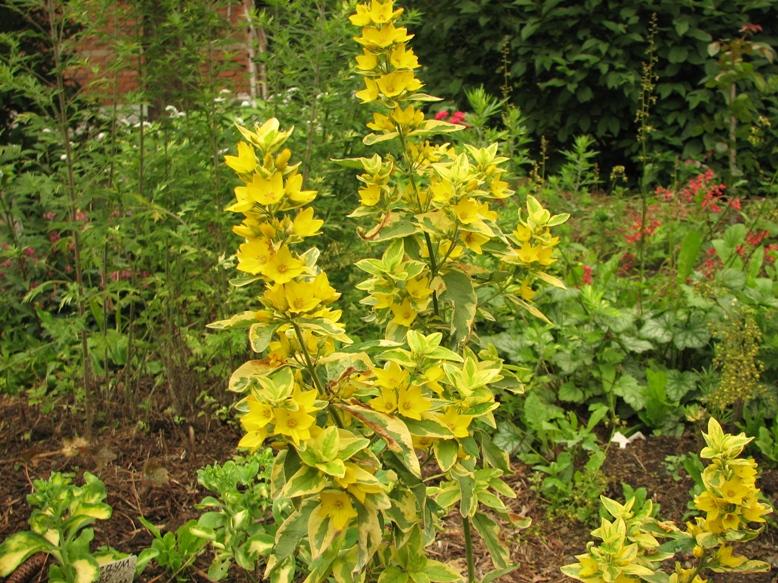 Вербейник точечный (Lysimachia punctata L.) «Golden Alexander»