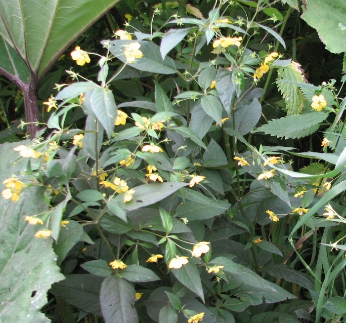 Вербейник реснитчатый (Lysimachia ciliata L.) «Fire Cracer»
