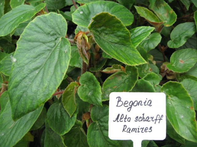 Begonia x Alto sсharff Ramires