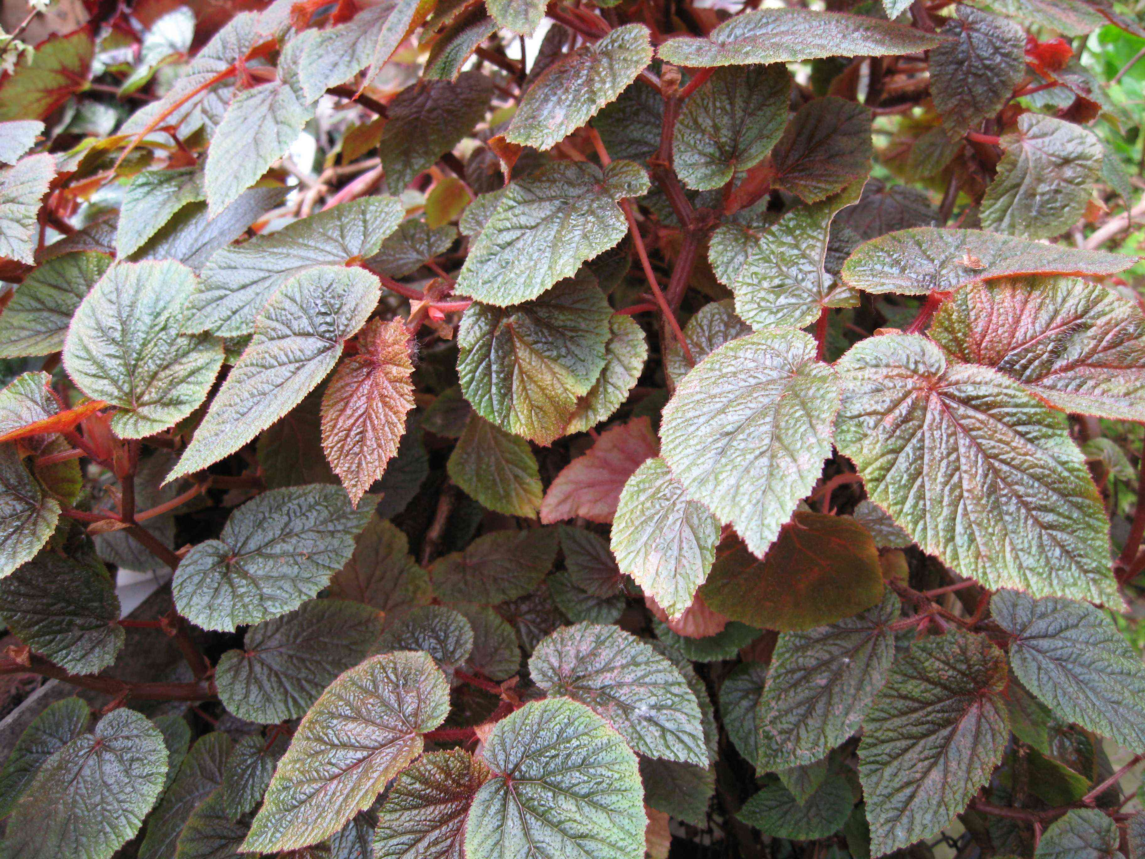 Begonia bachiensis