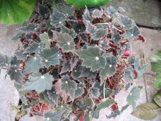 Begonia cv. Black Magic