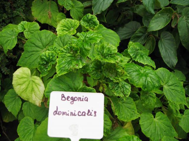 Begonia dominicalis