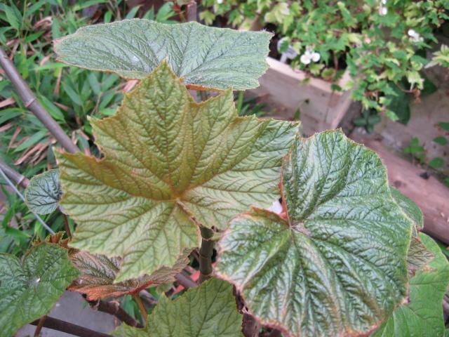 Begonia lobulata valida