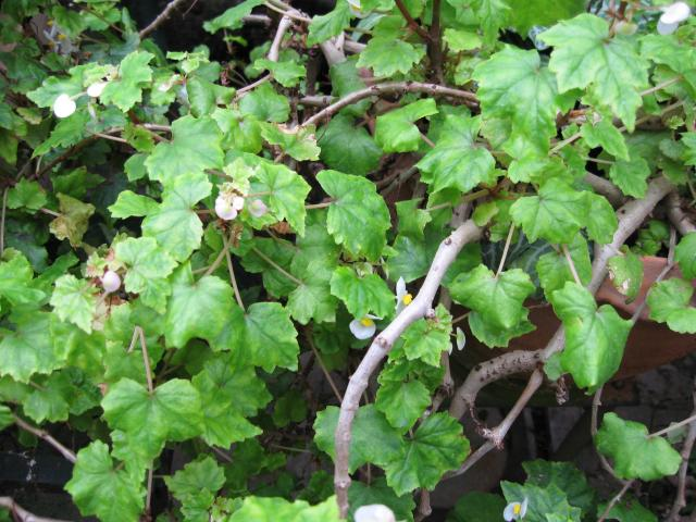 Begonia natalensis