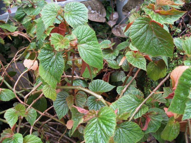 Begonia scabrida