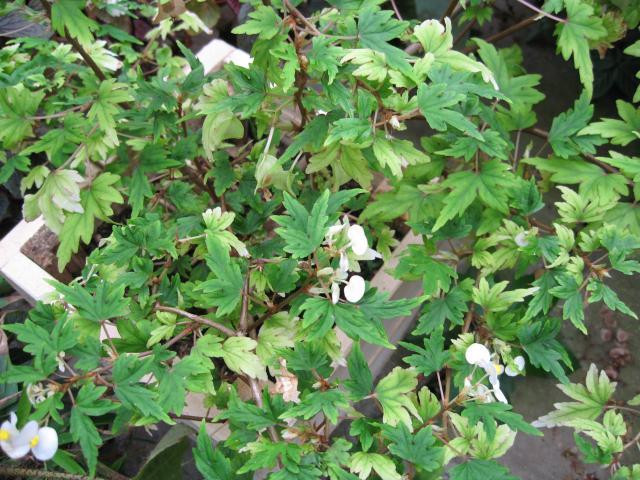Begonia schmidtiana