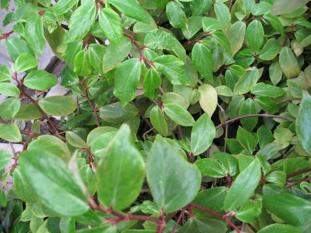 Begonia fuchsioides Hook.