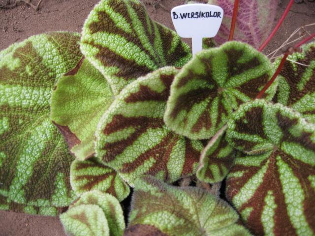 Begonia wersicolor
