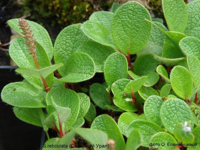 Ива сетчатая — Salix reticulata L. (Северный Урал)