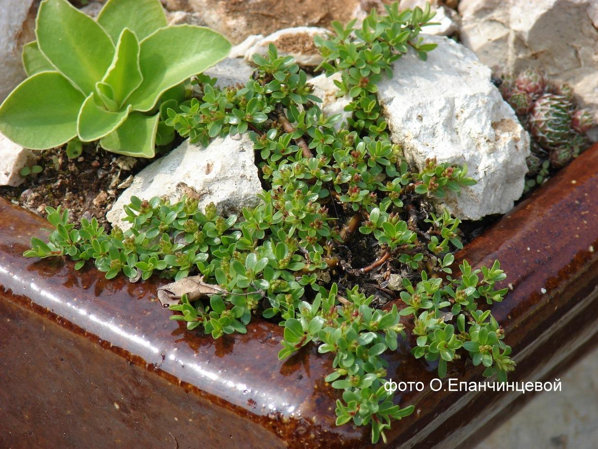 Ива тимьянолистная — Salix serpyllifolia Scop.
