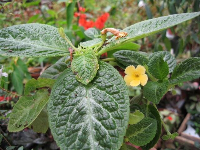Episcia Yellow mist