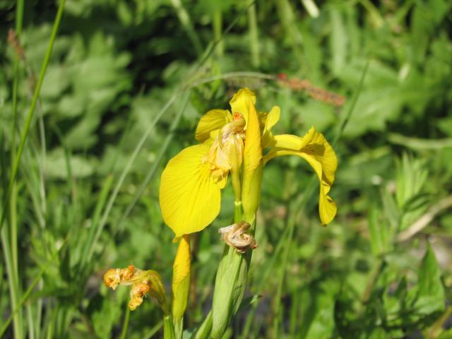 "Iris pseudacorus ""Sun Cascad"""