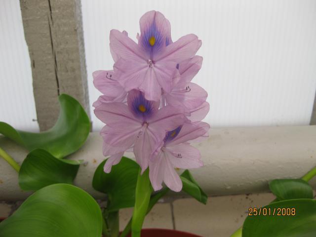 Эйхорния толстоножковая, или водяной гиацинт - Eichornia crassipes