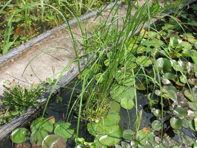 Carex riparia