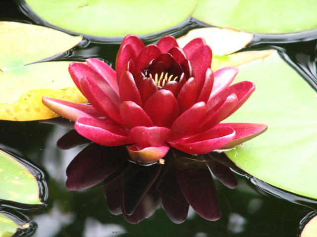 Nymphaea «Black Princess»