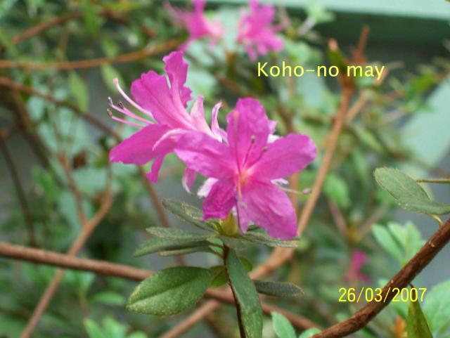 Koho-no may