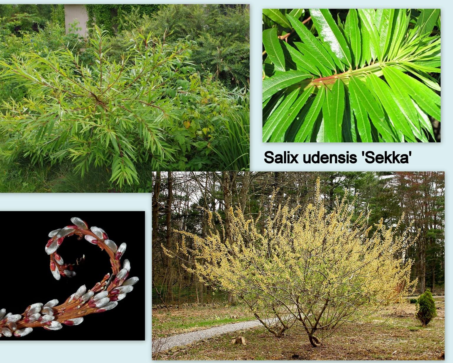 Salix udensis 'Sekka'