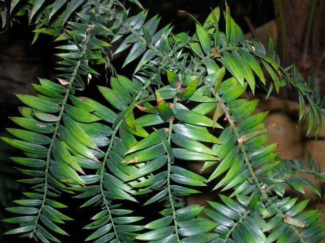 Araucaria bidwillii