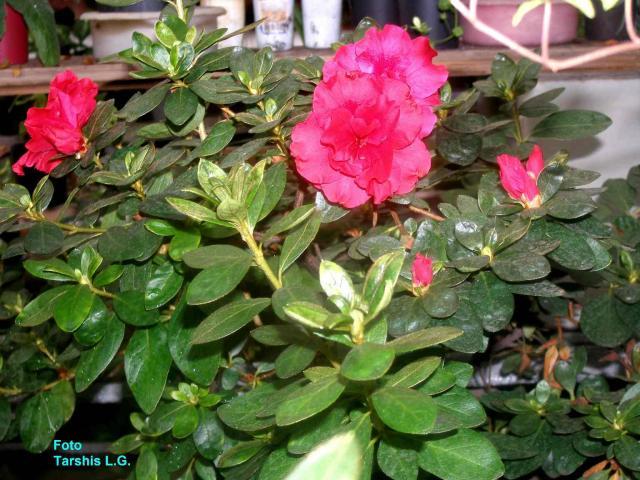 Azalea indicum