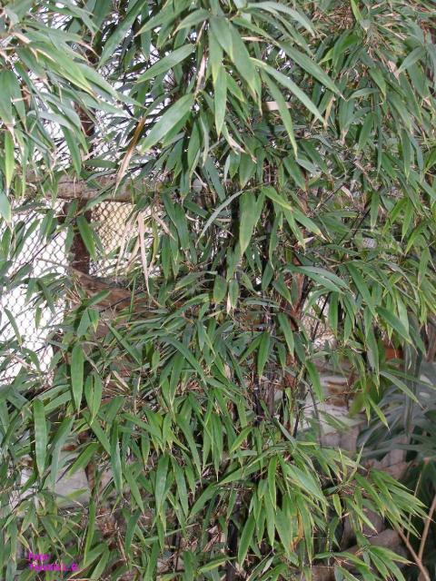 Bambusa metake