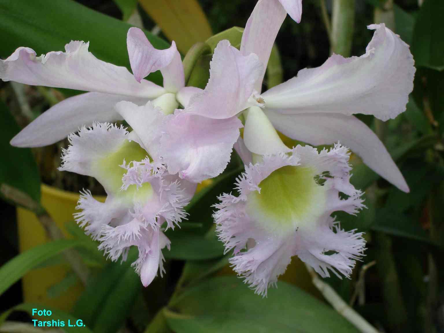 Brassolaeliocattleya hybrida