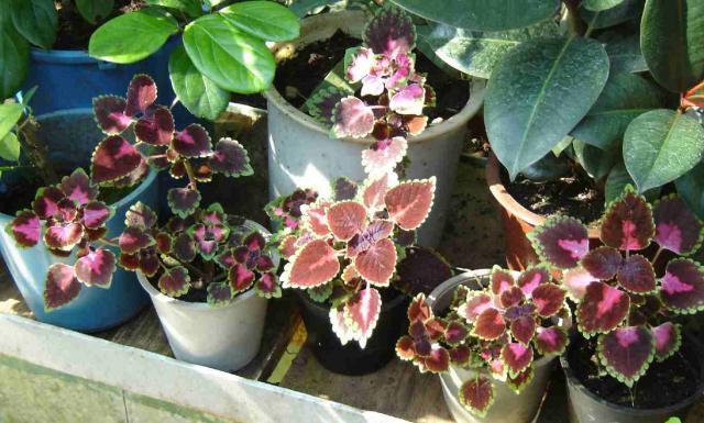 Coleus hybridus