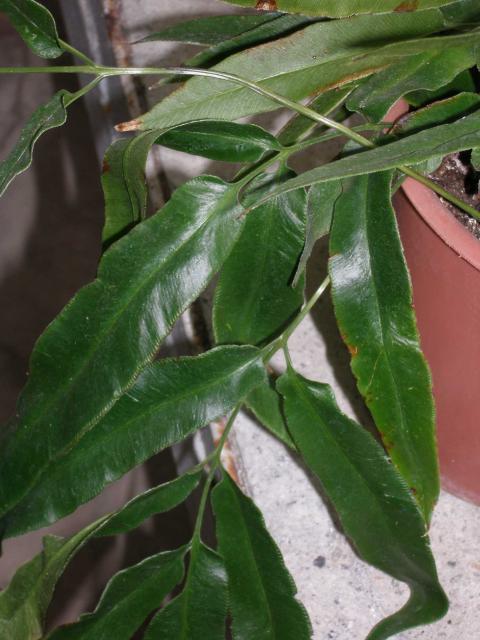 Coniogramme japonica