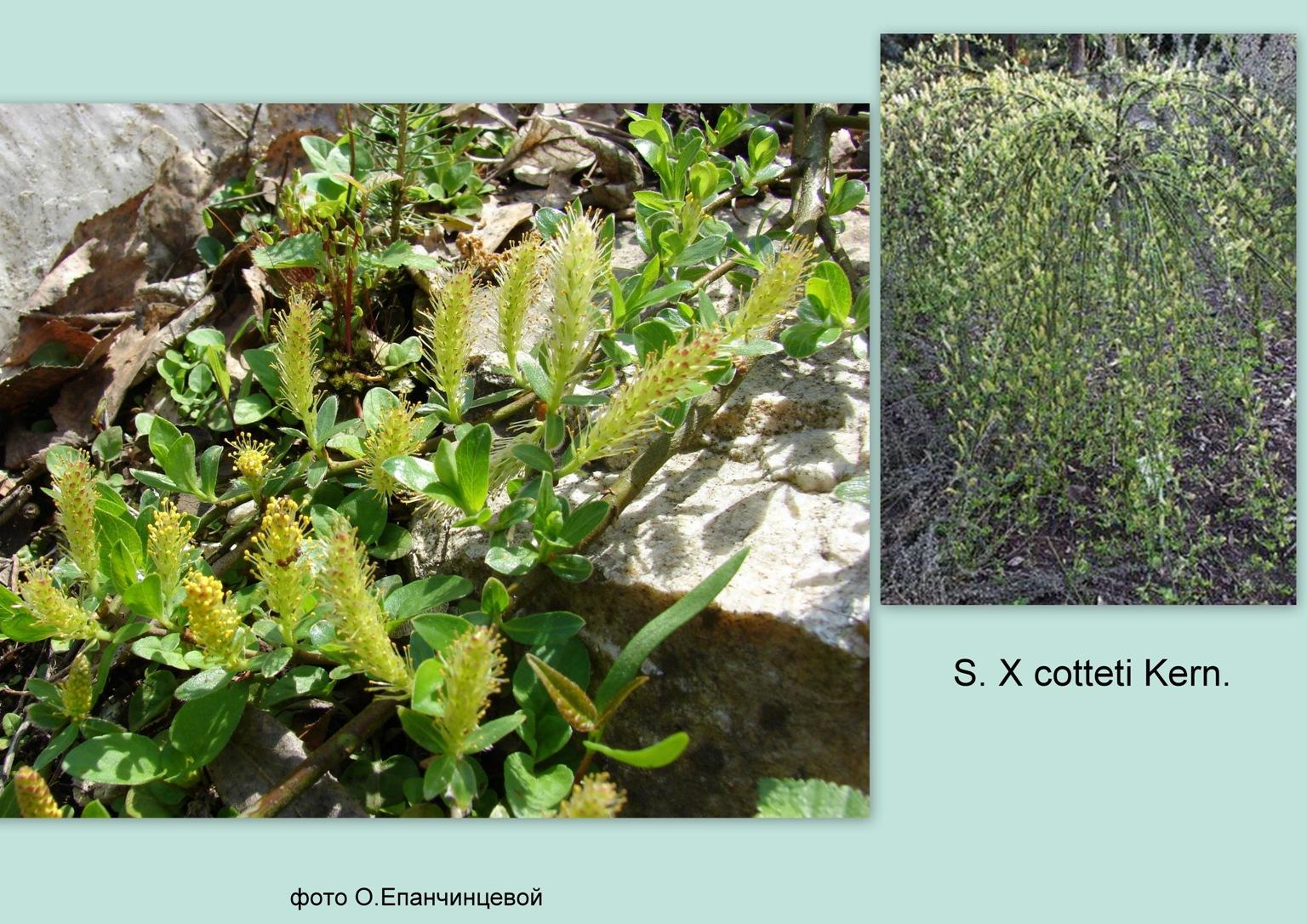 Salix x cotteti Lagg.