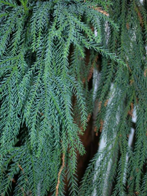 Cryptomeria japonica