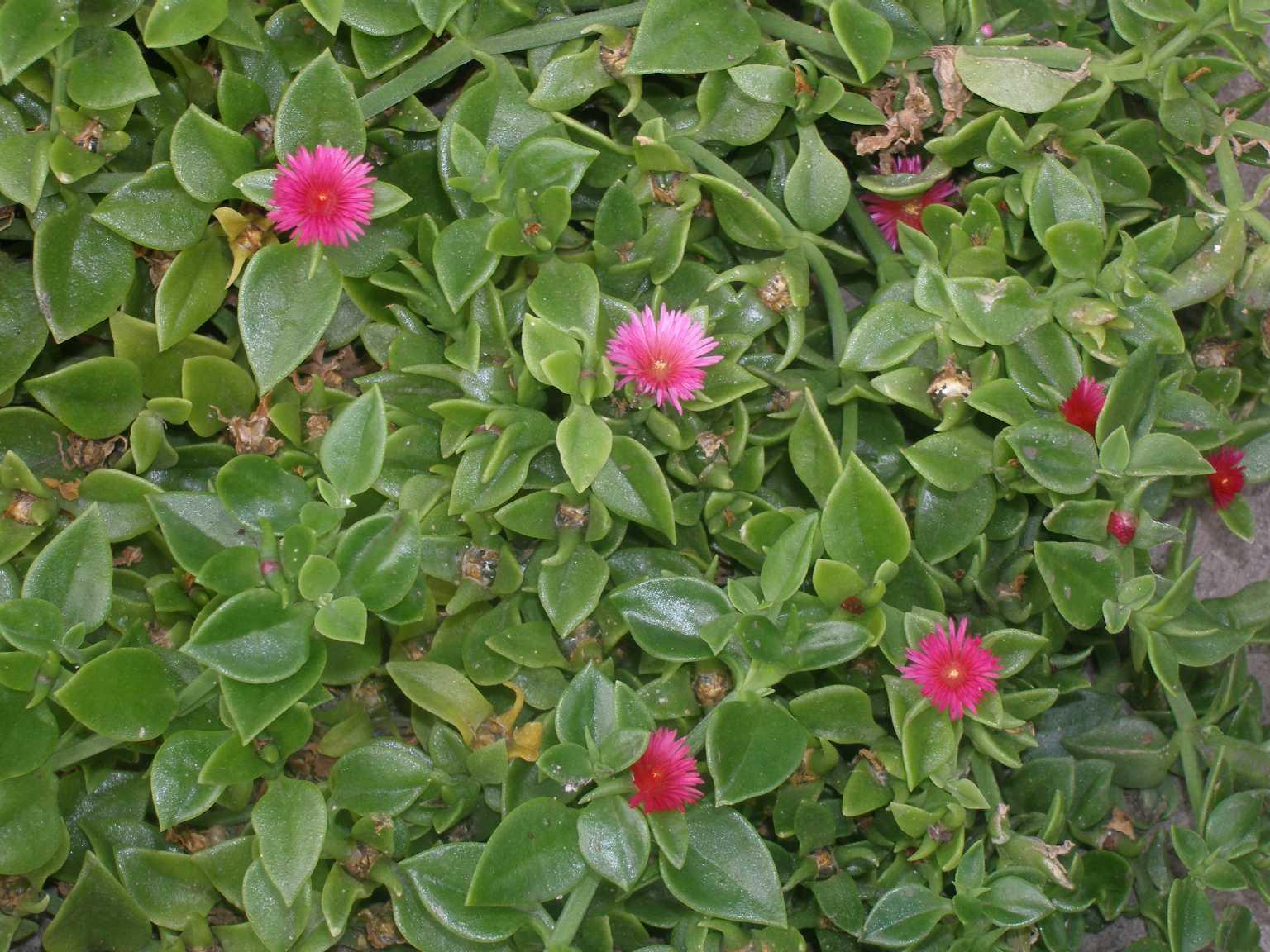 Delosperma tradescantioides