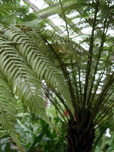 Dicksonia sellowiana