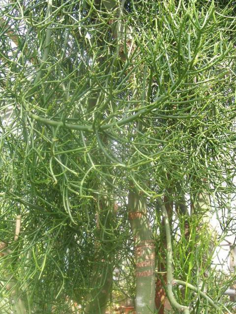 Euphorbia tirucallii