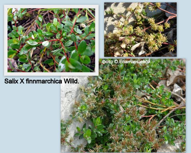 S. x finnmarchica Willd