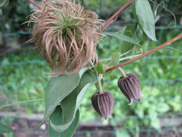 C. fusca f. violacea Maxim.