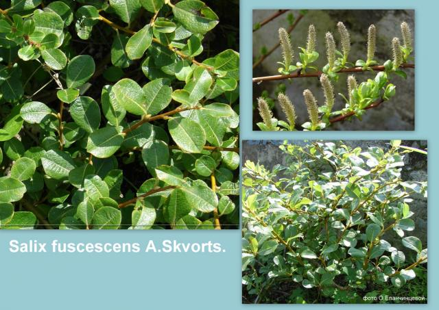 Ива буреющая - Salix fuscescens