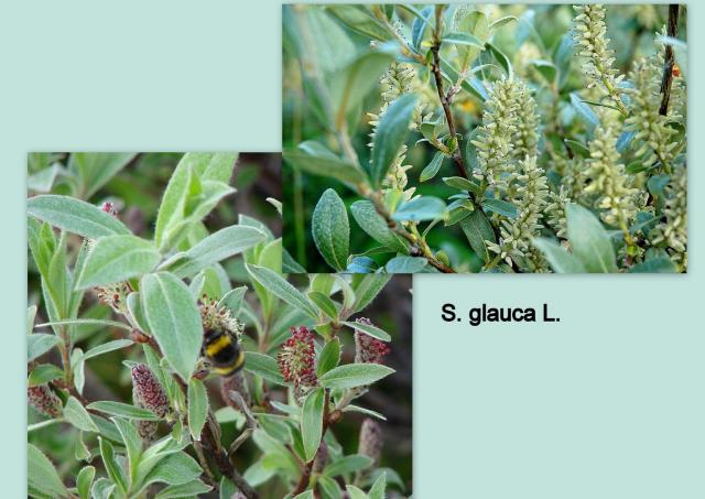 Ива сизая — Salix glauca L.