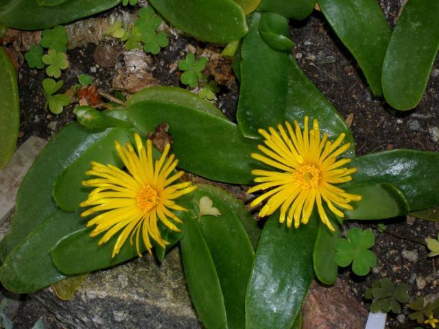 Glottiphyllum latifolium