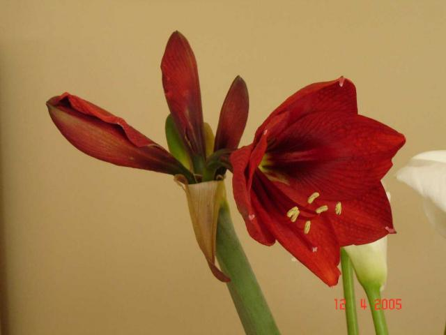 Hippeastrum hybridum