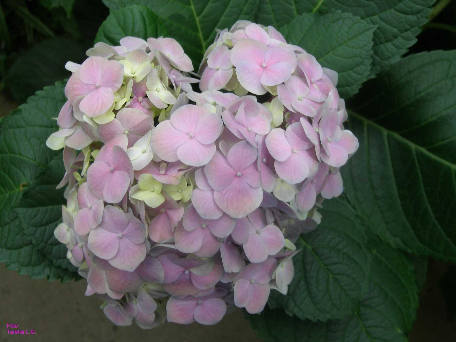 Hydrangea x hortensis