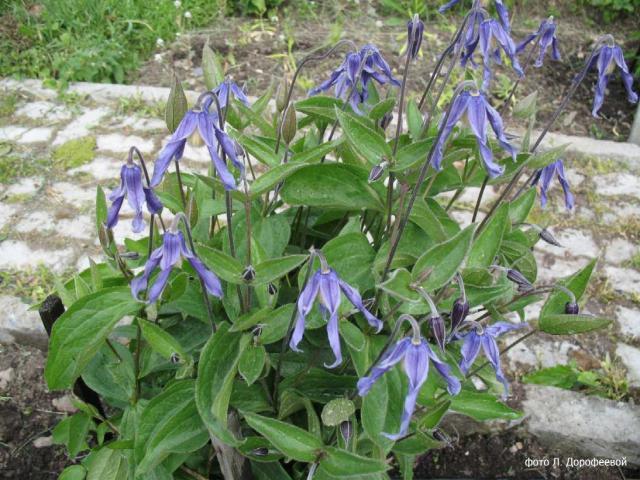 C. integrifolia L. (цельнолистный), syn.C. nutans Crantz., C. inclinata Scop.