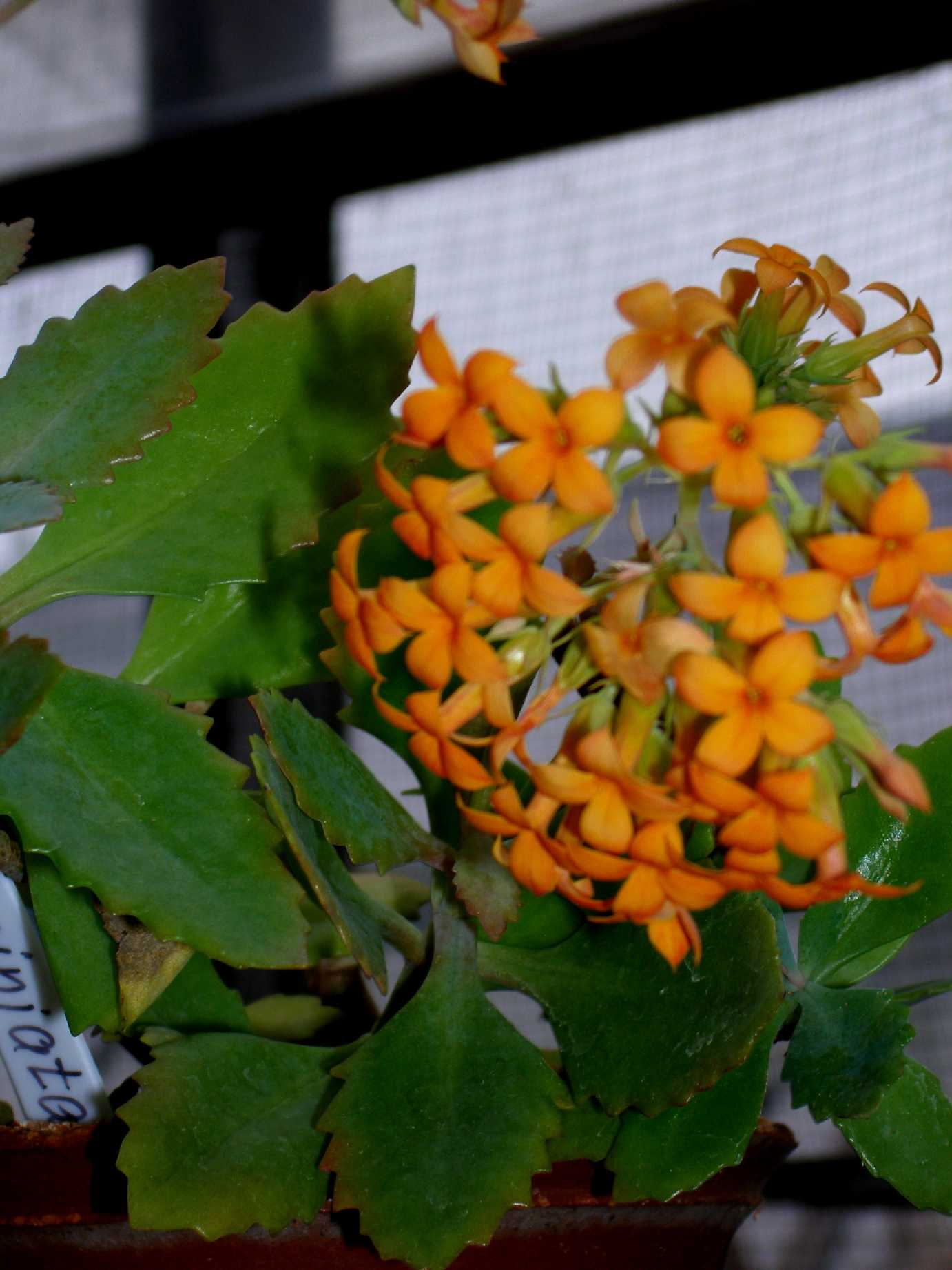 Цветок оленьи рожки фото и уход