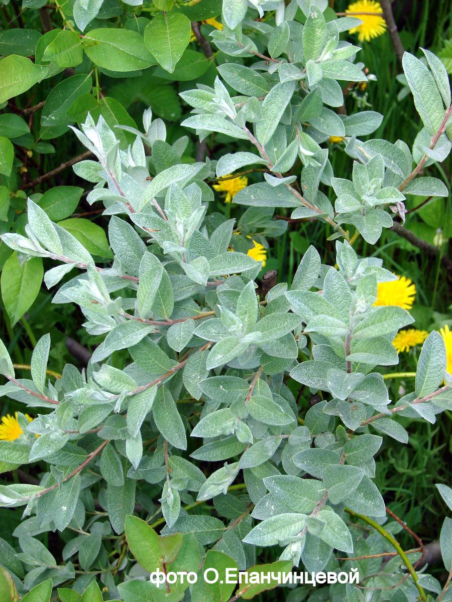 Ива лапландская Salix lapponum