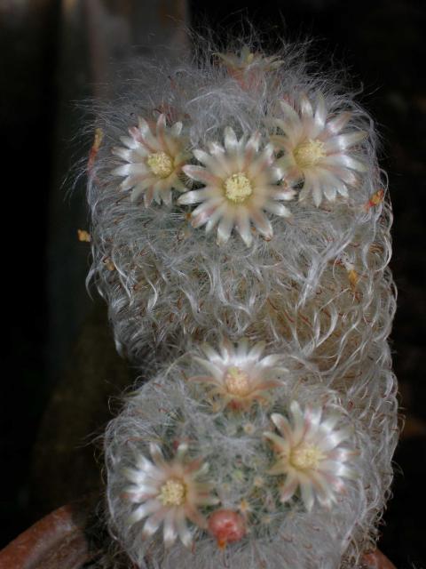 Mammillaria longicoma