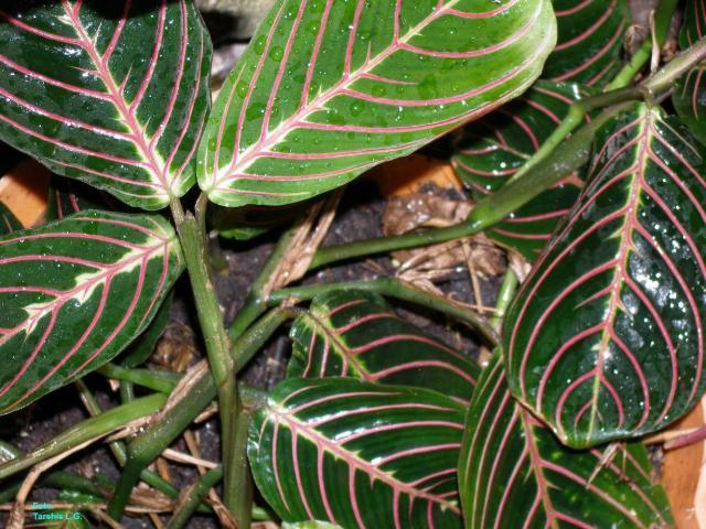 Maranta leuconeura f erythroneura