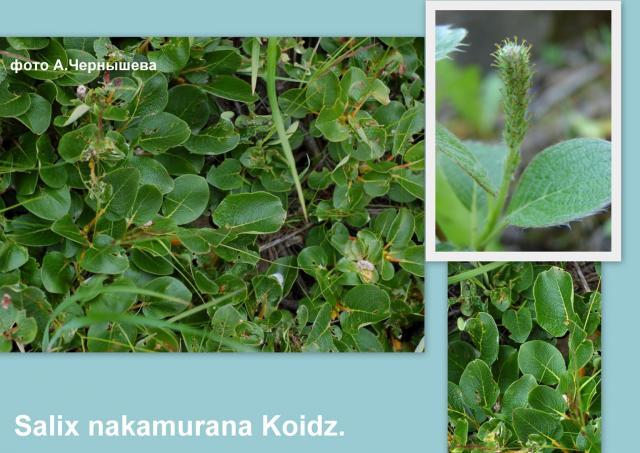 Ива Накамуры — Salix nakamurana Koidz.