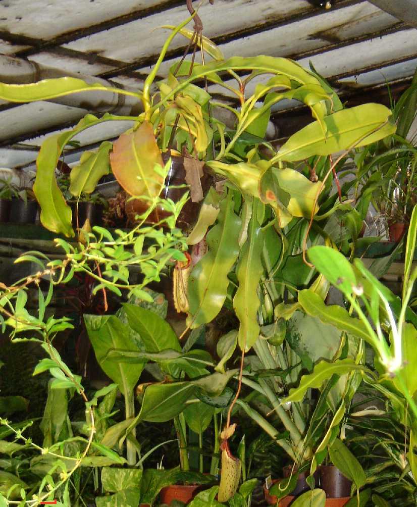 Nepenthes mixta