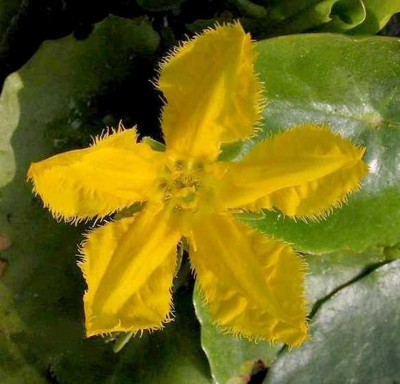 Нимфейник щитолистный - Nymphoides peltata (цветок)