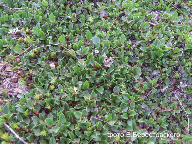 Ива монетовидная - Salix nummularia Anderss.