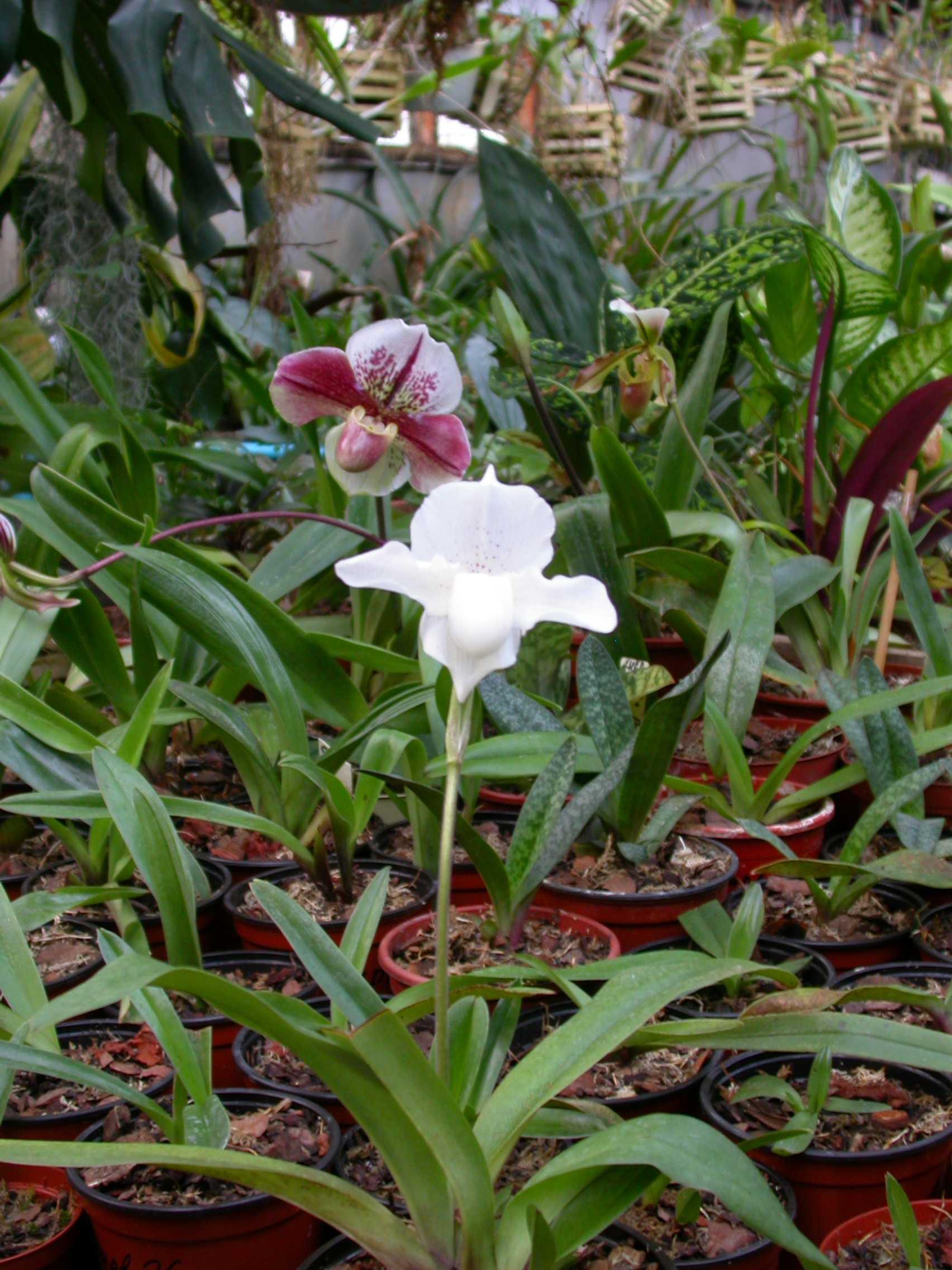 Paphiopedilum hybridum