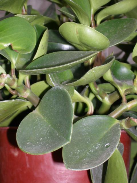 Цветок с круглыми листьями высокий